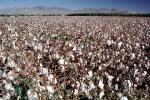 Cotton Fields, FMNV06P13_02