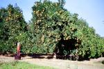 Orange Grove, orchard, FMNV06P13_10