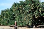 Orange Grove, orchard, FMNV06P13_13