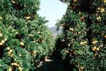 Orange Grove, orchard, FMNV06P13_17