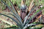 Pineapple Plant, Hawaii, Pineapple Farm, Bromeliad, Poales, Bromeliaceae, Maui