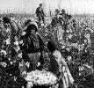 Cotton Pickers in the Field, Woman, Slave, 1890's, FMNV08P12_19