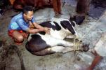 Cow, slaughterhouse, people, cattle, death, killing, Andapa, Madagascar, FPMV01P11_17