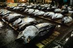 bringing in Tuna for auction at the Tsukiji Fish Market, Tokyo, FPOV01P04_07