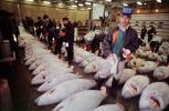 bringing in Tuna for auction at the Tsukiji Fish Market, Tokyo, FPOV01P11_14