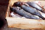 Trout in a Crate, Curacao, Willemstad, FPOV01P12_17