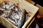 Trout in a Crate, Willemstad, Curacao, FPOV01P12_18
