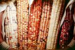 Dried Color Corn, texture, background, FTFV01P13_16