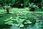 Lily pads, toadstools, broad leaved plant, NBBV01P01_03