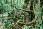 Rain Forest, Tree Root, trunk, Jungle, verdant, NBCV01P01_13