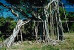 Banyan Tree, Roots, NDCV01P03_19.1274