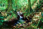 Stream, Tree Roots, jungle, Island of Moorea, Rain Forest, NDPV02P04_06
