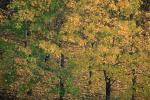 trees, forest, fall colors, autumn, NGLV01P01_13.0925