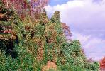 fall colors, Autumn, Trees, Vegetation, Flora, Plants, Colorful, Beautiful, Magical, Woods, Forest, Exterior, Outdoors, Outside, Rural, Kudzu, NLKV01P02_05