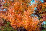 tree, fall colors, Trees, Vegetation, Flora, Plants, Colorful, Beautiful, autumn