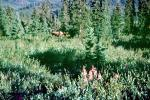 Moose, forest, Pine Trees, woodland, Denali National Park