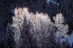 Ice, Trees, Cold, Chill, Chilled, Chilly, Cool, Frigid, Frosty, Frozen, Snowy, Winter, Wintry, NNIV01P03_06.0932