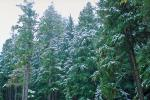 Snowy Trees, forest, woodland, cold, ice, snow, NNTV01P09_01.0934