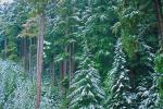 Snowy Trees, forest, woodland, cold, ice, snow, NNTV01P09_02.0934