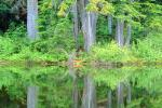 Reflecting Trees, lake, pond, reflection, woodland, forest, water