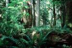 Hoh Rainforest, trees, forest, woodland, moss, mossy