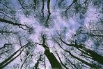 looking-up, bare trees, NOFV01P02_13