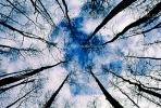 looking-up, bare trees, NOFV01P02_14