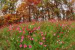 Field of Flowers, Daisies, Woodland, Forest, Trees, Flowers, autumn, deciduous, NORV01P05_01.1260