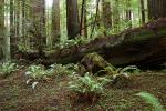 Ferns, Fallen Tree, Avenue of the Giants