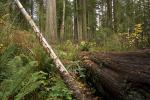 Prairie Creek Redwoods State Park, fallen trees, forest, fern