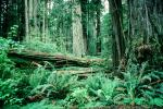 Fallen Trees in the Forest, ferns, NPNV01P11_09