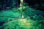 Clover in a sliver of light, fallen trees, forest, Avenue of the Giants, Humboldt County, NPNV02P02_11.1264