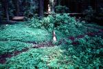 Clover, fallen trees, forest, Avenue of the Giants, Humboldt County, NPNV02P02_12