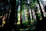 Redwood Forest, NPNV02P03_11.1264