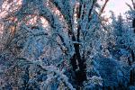 snow covered trees, Ice, Cold, Chill, Chilled, Chilly, Cool, Frosty, Frozen, Icy, Snowy, Winter, Wintry, NPNV03P03_05.1266