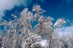 snow covered trees, Ice, Cold, Chill, Chilled, Chilly, Cool, Frosty, Frozen, Icy, Snowy, Winter, Wintry, NPNV03P03_06.1266