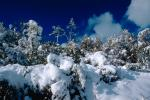 snow covered trees, Ice, Cold, Chill, Chilled, Chilly, Cool, Frosty, Frozen, Icy, Snowy, Winter, Wintry, NPNV03P03_14.1266