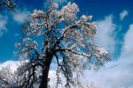 snow covered trees, Ice, Cold, Chill, Chilled, Chilly, Cool, Frosty, Frozen, Icy, Snowy, Winter, Wintry, NPNV03P04_02.1266