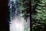 Fog, foggy Redwood Forest