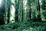 Avenue of the Giants, Ferns, redwood grove
