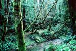 Stream in the Forest, Humboldt County