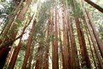 Looking-up in a Redwood Tree Forest