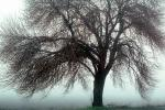 Bare Oak Tree in the Fog, NPNV09P05_15