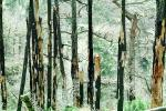burned out forest, charred trees, NPNV11P05_08
