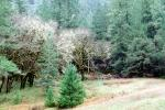 Trees, moss, Woodlands, forest, Orr Springs, Mendocino County