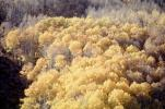 Aspen Trees, a few kilometers north of Mono Lake, autumn