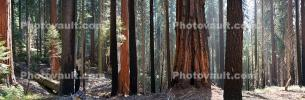 Thicket of Sequoia Trees Panorama, Thick Forest, NPSD01_280