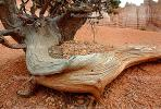 Twist and Gnarl, Tree, Bryce Canyon National Park, twistree, Root, NSUV01P02_08.2570