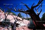 gnarled tree, old, dessicated, NSUV02P07_07