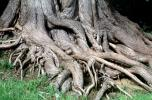 Twisted Gnarled Roots, tree trunk, twistree, NWBV02P04_14